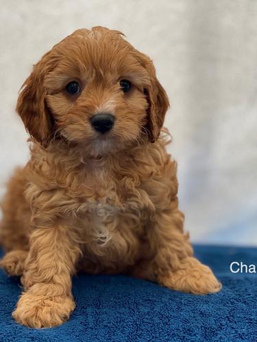 IMG_1039Dora puppies 7 weeks59.jpg