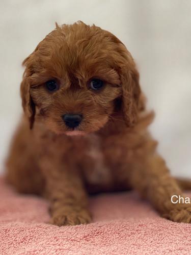 IMG_1016Dora puppies 7 weeks81.jpg