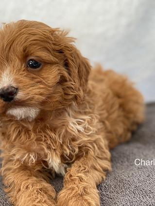 IMG_1397Doras puppies 7 weeks18.jpg