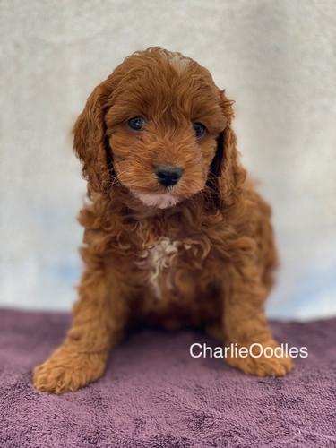 IMG_1105Dora puppies 7 weeks15.jpg