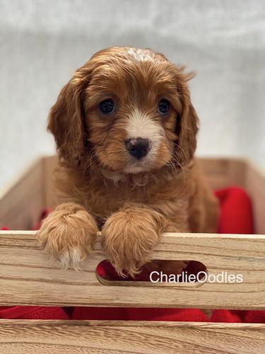 IMG_0984Dora puppies 7 weeks107.jpg