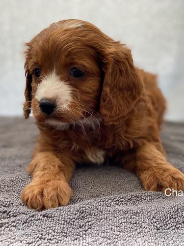 IMG_1060Dora puppies 7 weeks42.jpg