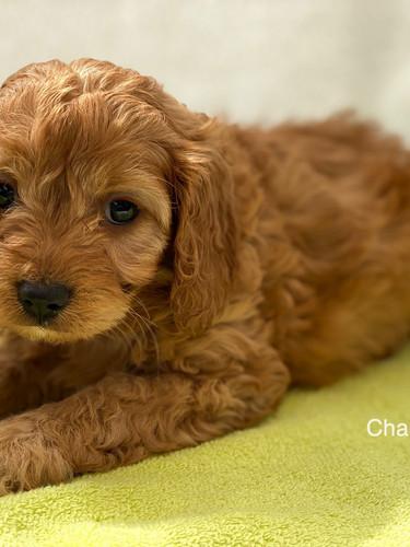 IMG_1075Dora puppies 7 weeks28.jpg