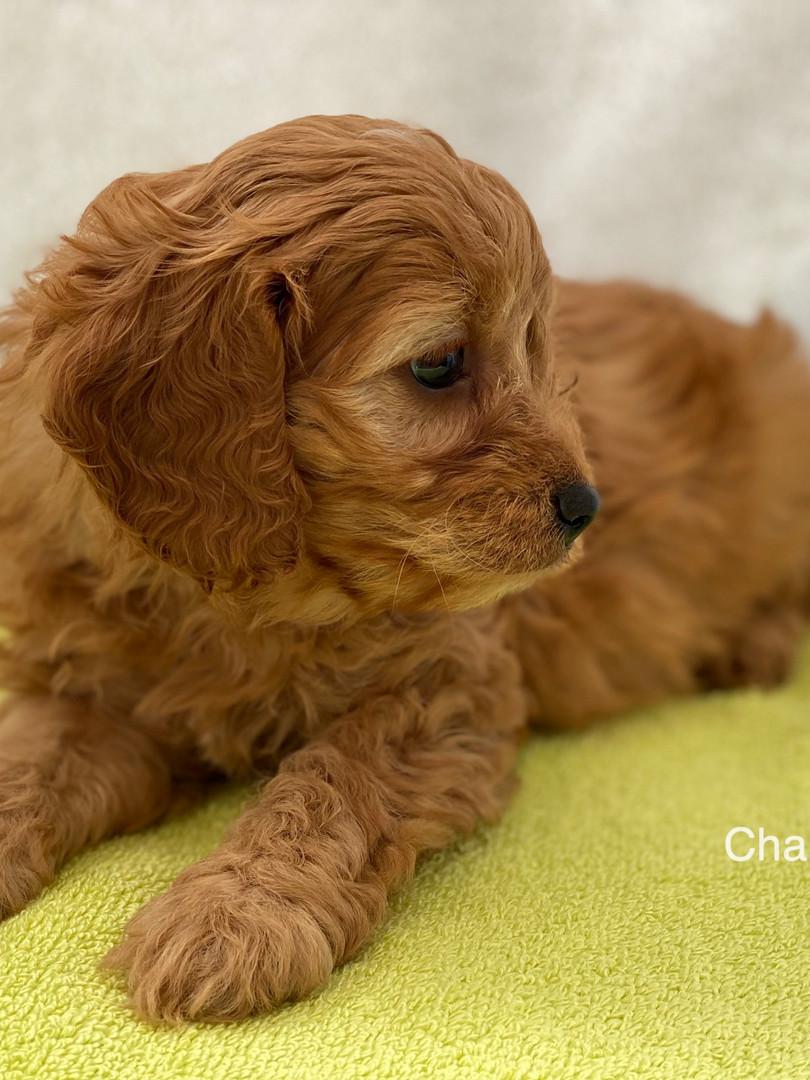 IMG_1080Dora puppies 7 weeks24.jpg