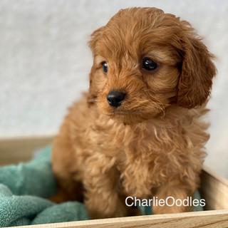 IMG_1334Doras puppies 7 weeks75.jpg