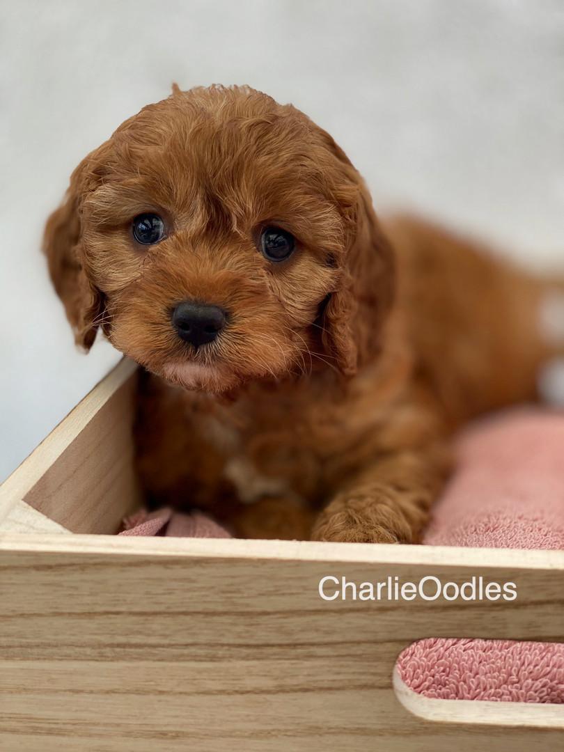 IMG_1009Dora puppies 7 weeks87.jpg