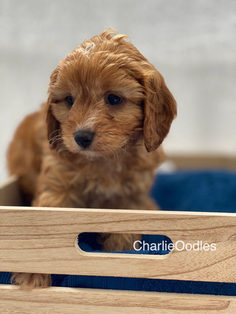 IMG_1025Dora puppies 7 weeks73.jpg