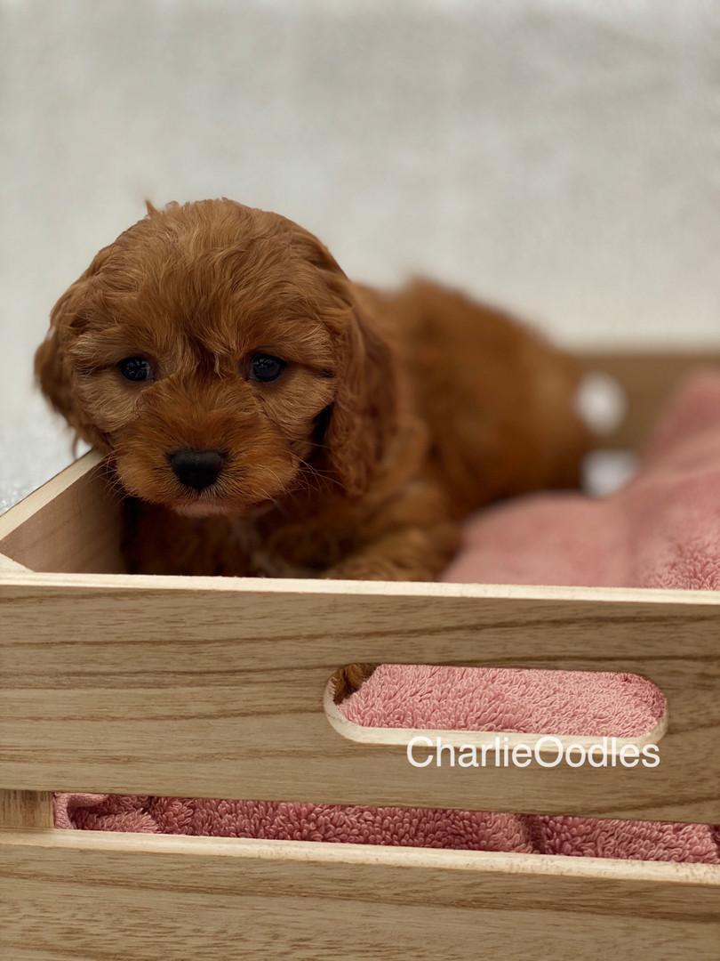 IMG_1006Dora puppies 7 weeks90.jpg