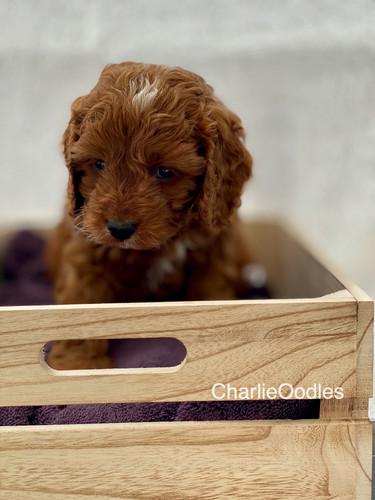 IMG_1091Dora puppies 7 weeks10.jpg