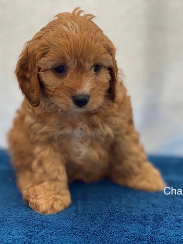 IMG_1032Dora puppies 7 weeks66.jpg
