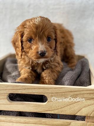 IMG_1378Doras puppies 7 weeks33.jpg