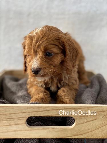 IMG_1374Doras puppies 7 weeks36.jpg