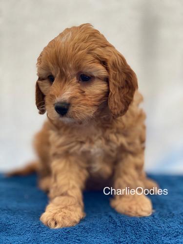 IMG_1042Dora puppies 7 weeks56.jpg