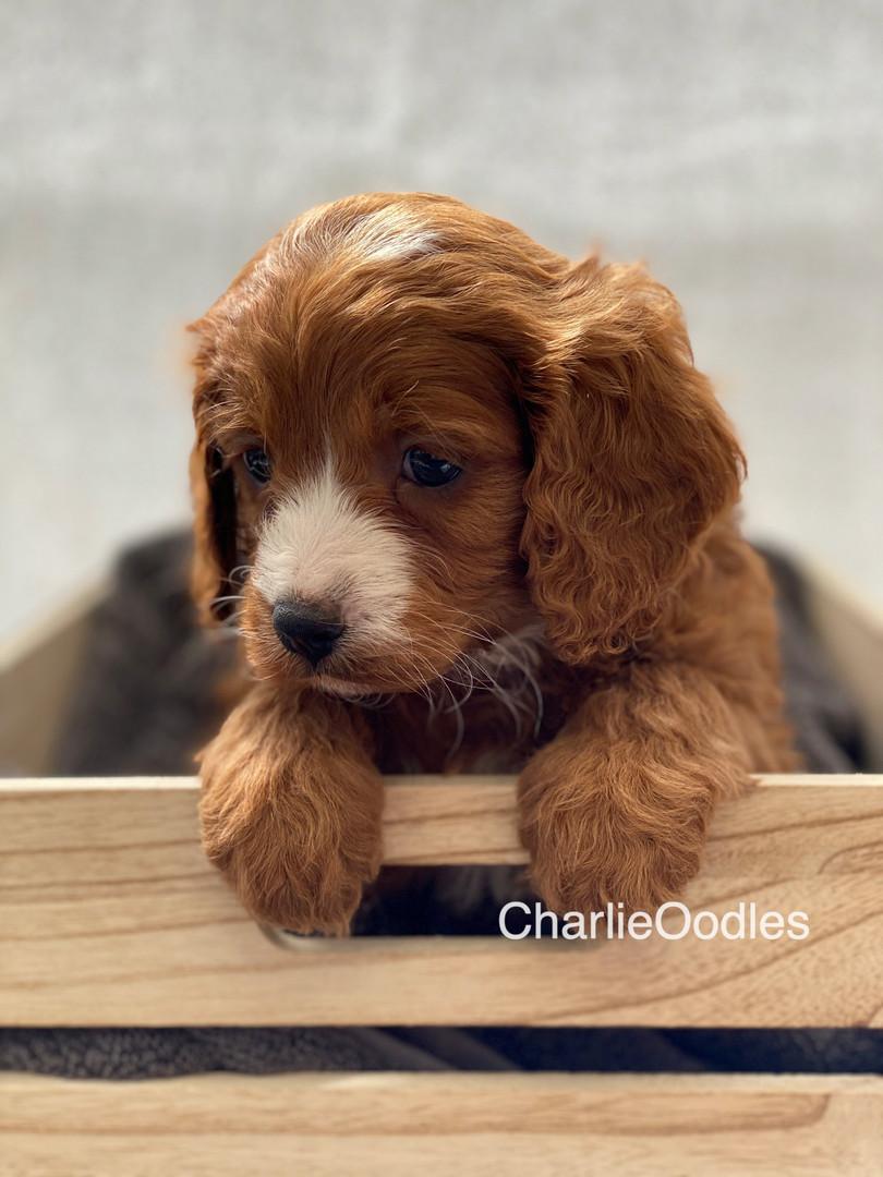 IMG_1045Dora puppies 7 weeks54.jpg