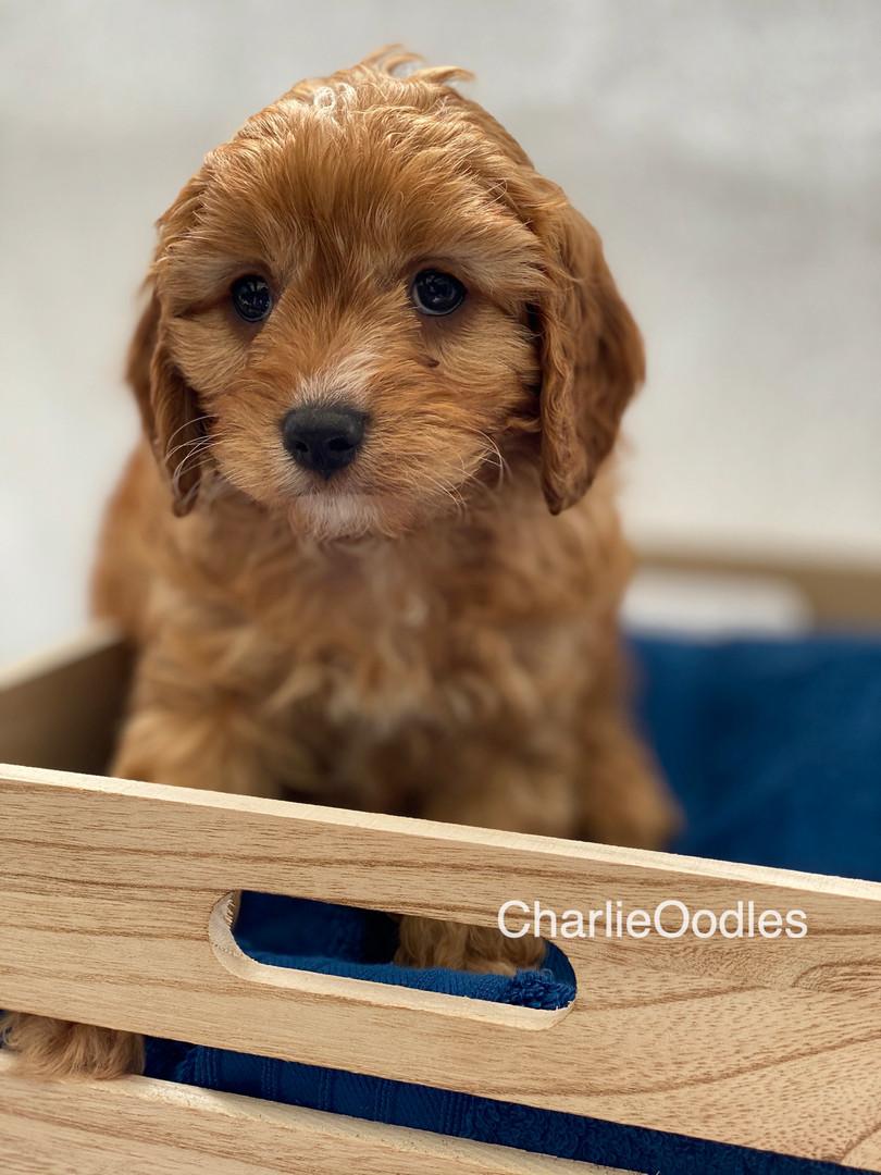 IMG_1030Dora puppies 7 weeks68.jpg
