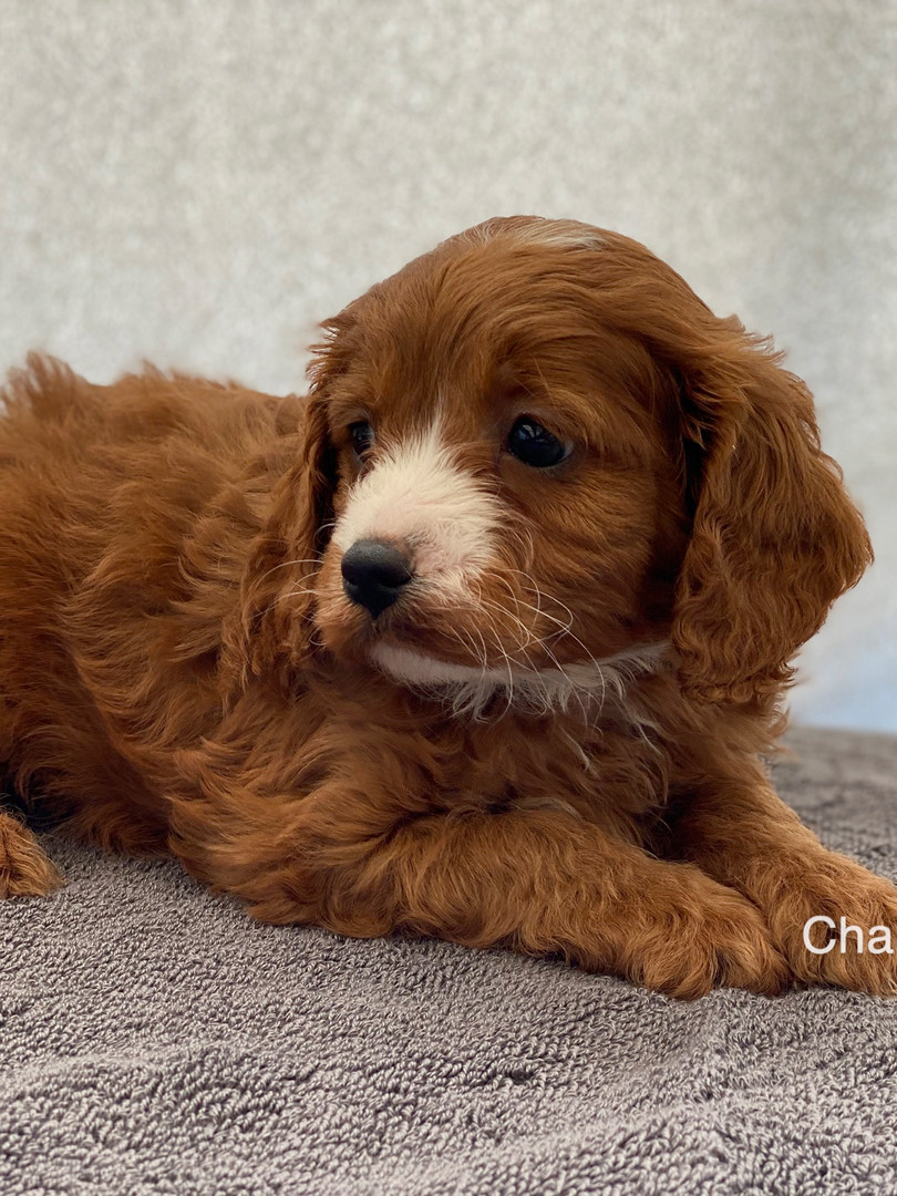 IMG_1053Dora puppies 7 weeks47.jpg