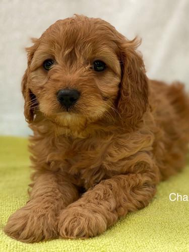 IMG_1083Dora puppies 7 weeks21.jpg