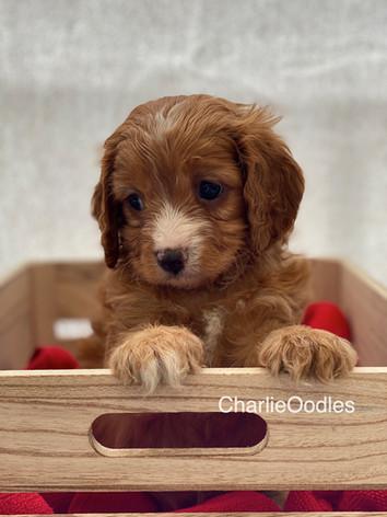 IMG_0988Dora puppies 7 weeks104.jpg