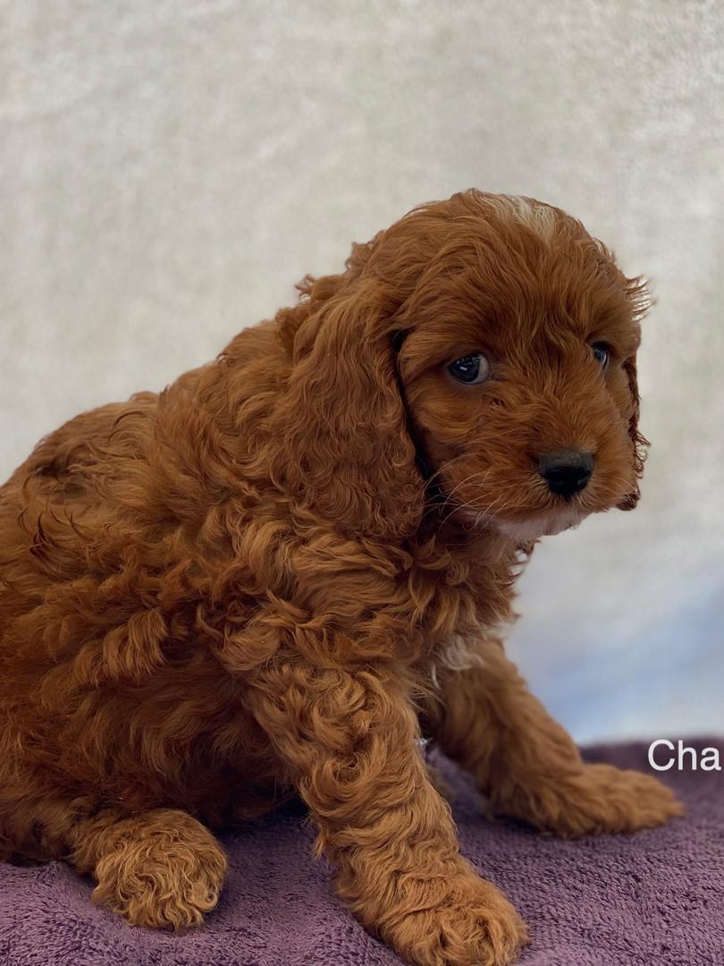 IMG_1096Dora puppies 7 weeks17.jpg
