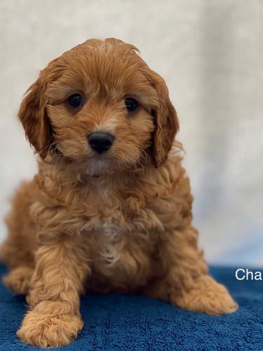 IMG_1038Dora puppies 7 weeks60.jpg