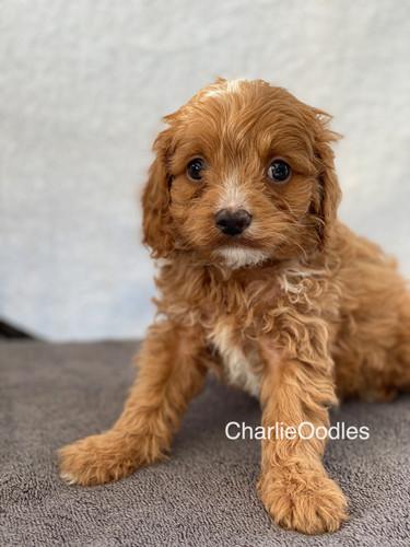 IMG_1389Doras puppies 7 weeks26.jpg
