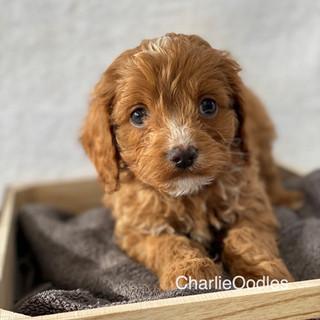 IMG_1380Doras puppies 7 weeks31.jpg