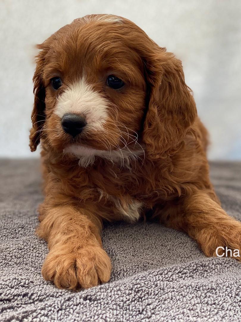 IMG_1061Dora puppies 7 weeks41.jpg