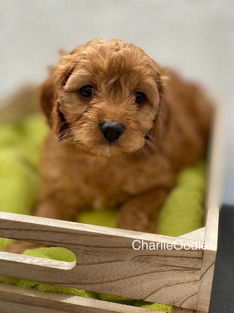 IMG_1065Dora puppies 7 weeks37.jpg