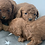 Thumbnail: Priority List deposit RUBY TOY FEMALE CAVOODLE