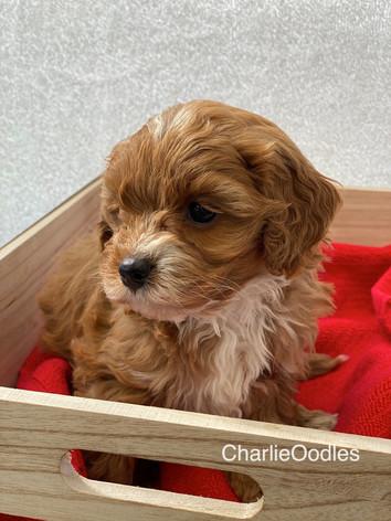 IMG_1114Minnies puppies 6 weeks121.jpg