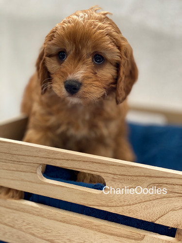 IMG_1026Dora puppies 7 weeks72.jpg