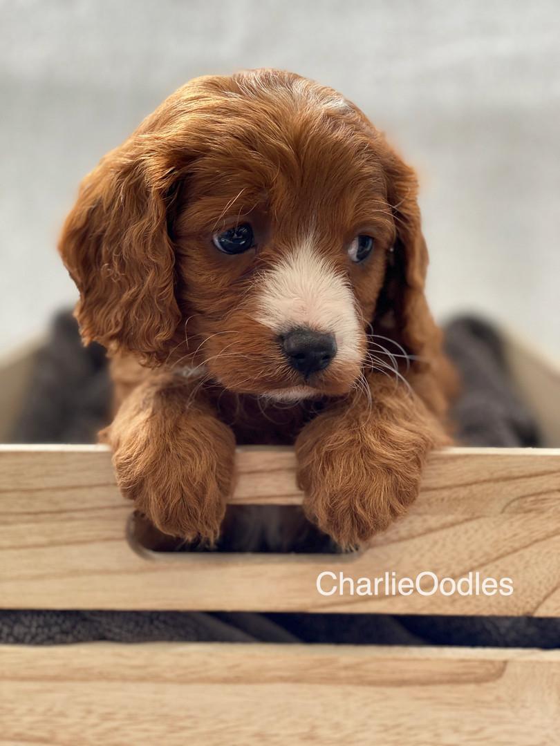 IMG_1047Dora puppies 7 weeks52.jpg