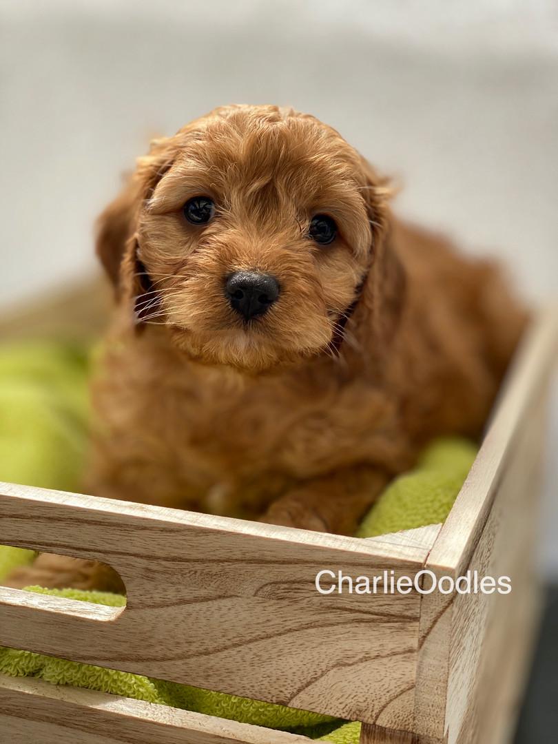IMG_1066Dora puppies 7 weeks36.jpg