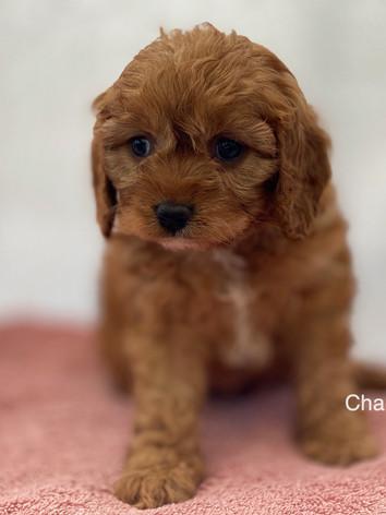 IMG_1013Dora puppies 7 weeks83.jpg