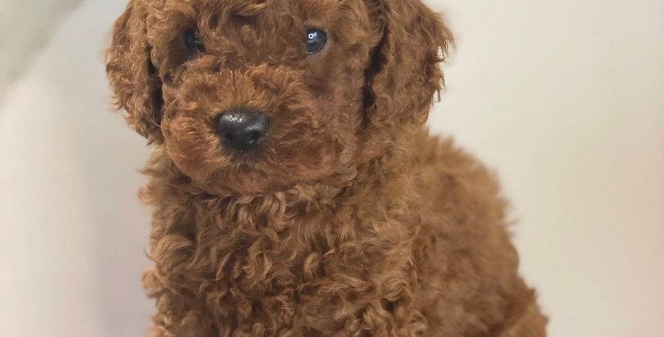 Holding deposit for Ruby MINI Cavoodle MALE (Purple COLLAR)