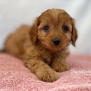 IMG_1279Doras puppies 7 weeks127.jpg