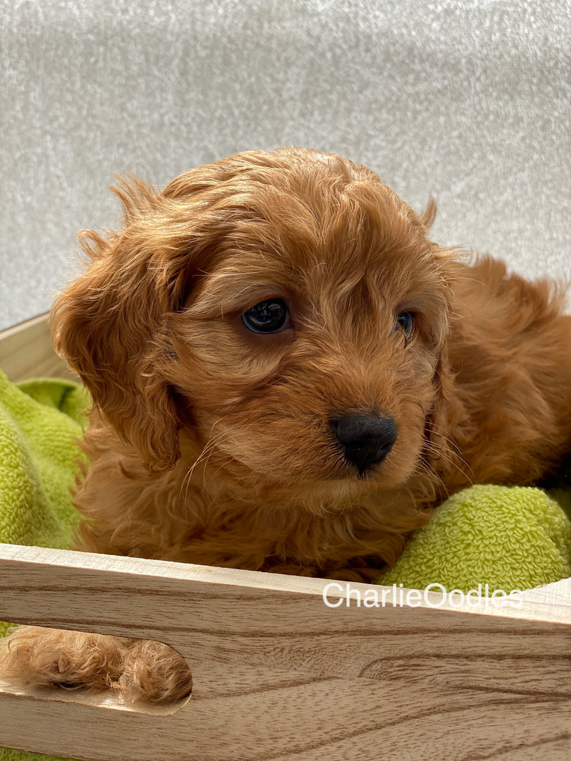 IMG_1072Dora puppies 7 weeks30.jpg