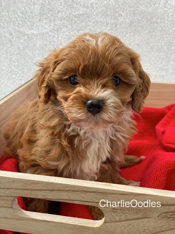 IMG_1115Minnies puppies 6 weeks120.jpg