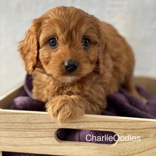 IMG_1355Doras puppies 7 weeks54.jpg