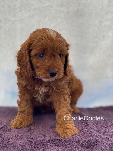 IMG_1098Dora puppies 7 weeks16.jpg