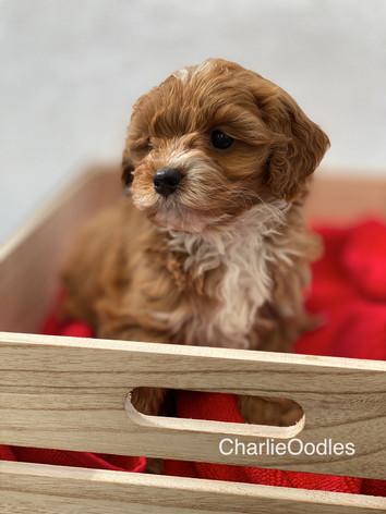 IMG_1118Minnies puppies 6 weeks117.jpg