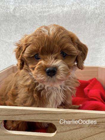 IMG_1108Minnies puppies 6 weeks124.jpg