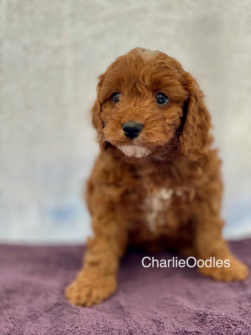 IMG_1104Dora puppies 7 weeks2.jpg