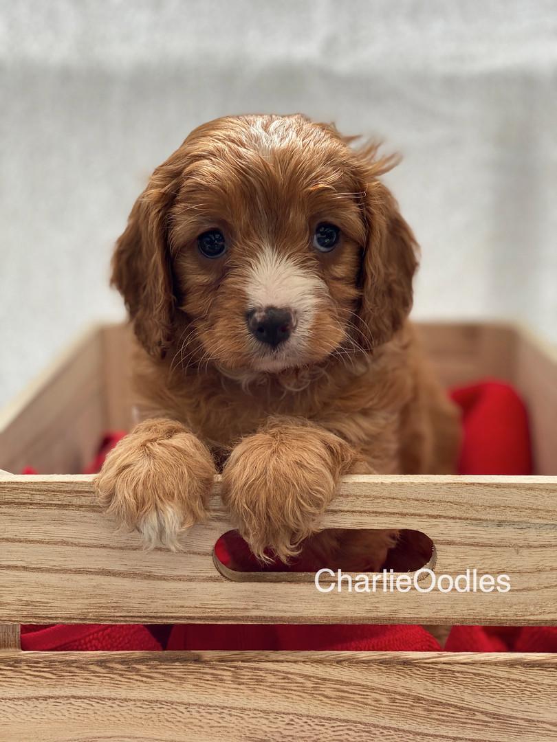 IMG_0985Dora puppies 7 weeks106.jpg