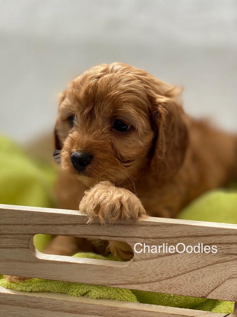 IMG_1069Dora puppies 7 weeks33.jpg