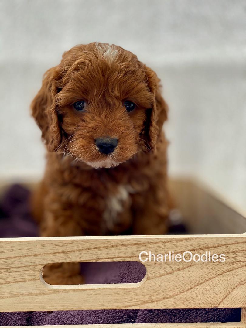IMG_1092Dora puppies 7 weeks9.jpg