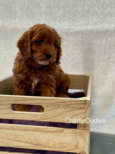 IMG_1088Dora puppies 7 weeks13.jpg