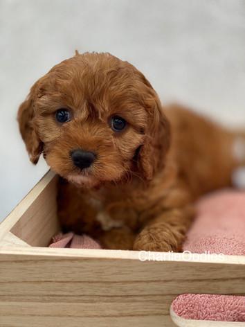 IMG_1008Dora puppies 7 weeks88.jpg