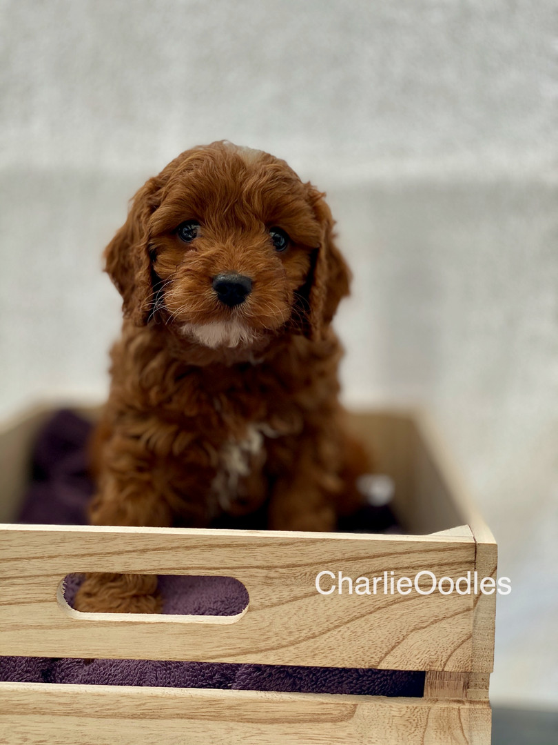 IMG_1093Dora puppies 7 weeks8.jpg