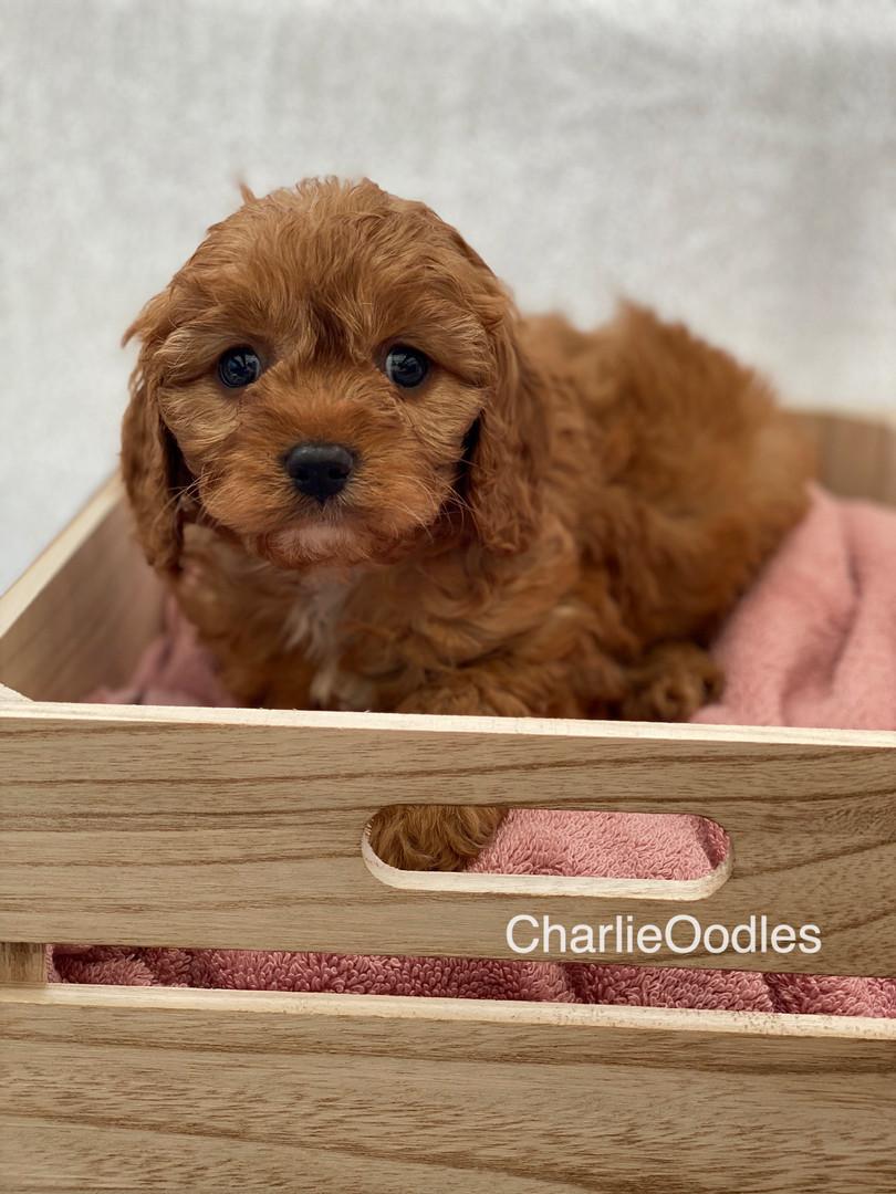 IMG_1001Dora puppies 7 weeks94.jpg